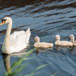 Vijf jonge zwaantjes in het Sonsbeeckpark